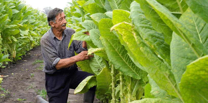Tabak Anbau in Havanna mit einem Tabakbauern.