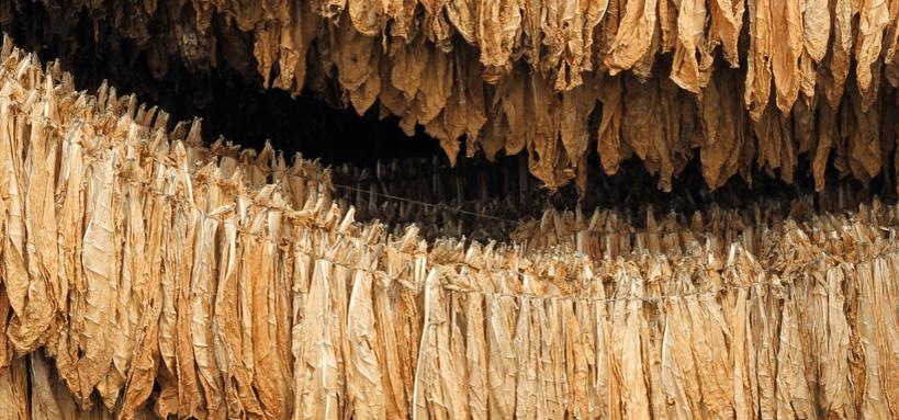Der Tabak für die Havanna Zigarre trocknet circa 7 Wochen.